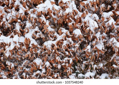 Beech hedge with brown crisp leaves, covered in fresh snow