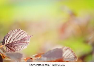 Beech leaf background