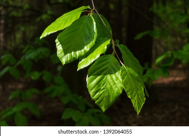 beech leaves after the rain in a forest near Neundorf a.d. Eigen, Germany in May 2019