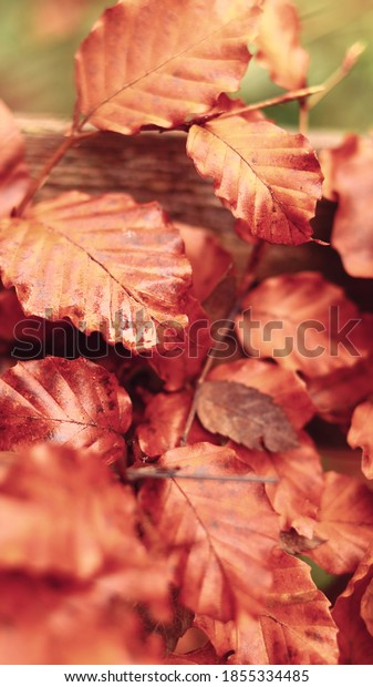 Beech leaves of autumn orange colors