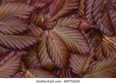 Beech leaves background