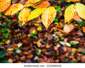 Beech leaves, in the colors of autumn, form a frame