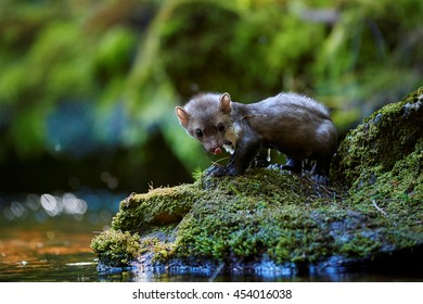 Beech marten crossing forest stream. Small, agile predator, stone marten, Martes foina, in typical european forest environment.