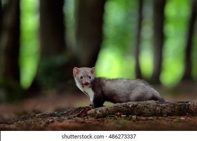 Beech marten, detail portrait of forest animal. Small predator in the nature habitat. Wildlife scene from Germany. Martes foina, with green forest in background.