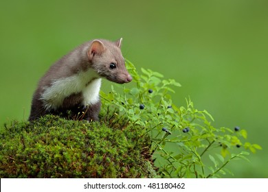 Beech marten, Martes foina, and bilberry with clear green background. Detail portrait of forest animal. Small predator sitting on the green mossy stone in the forest.