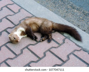 The beech marten (Martes foina), also known as the stone marten, house marten or white breasted marten lying on the sidewalk hit by a car. Poland, Europe