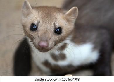 Beech marten (Martes foina) also known as the stone marten, house marten or white breasted marten
