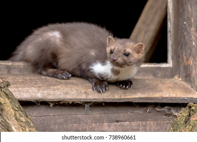 Beech Marten (Martes foina) also known as Stone Marten or House marten. resting and relaxing in window sill of barn