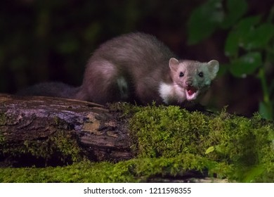 Beech marten (Martes foina) mouth open on log at night. This small nocturnal predator is indispensable for the ecological balance in an ecosystem