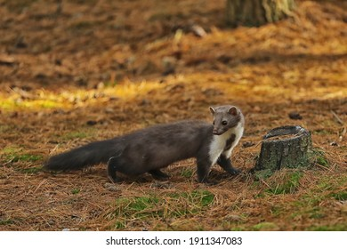 Beech marten, small opportunistic predator in nature habitat. Stone marten, Martes foina, in typical european forest enviroment. Czech republic.