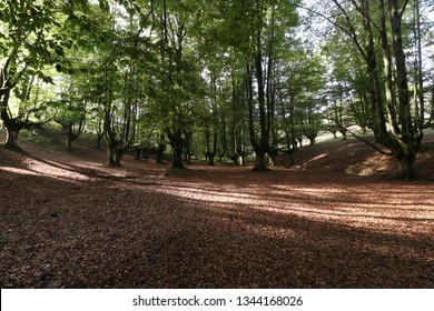 Beech of Otzarreta in the province of Biscaya, in the Basque Country, Spain.