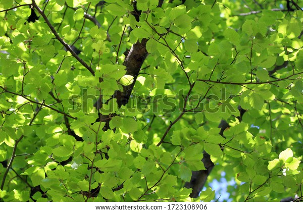 beech-spring-lush-green-leaves-600w-1723
