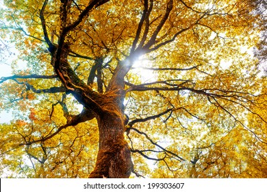 Beech tree in autumn. Nature background