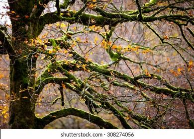 Beech tree branches horizontal