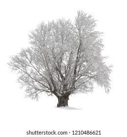 Beech tree covered with hoarfrost or snow at winter isolated on white.