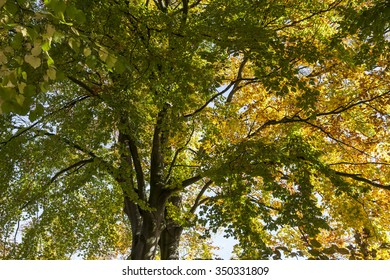 Beech tree (Fagus) in autumn, Germany, Europe