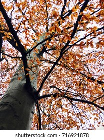 Beech Tree in Fall