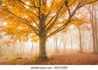 Beech tree and fog in the autumn season. Natural reserve of Canfaito in the marche region, Italy.