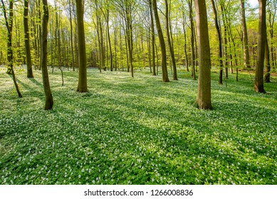 A beech tree forest, Jutland, Denmark comes to life with wild ramson flowers.