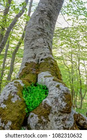 Beech tree with heart shaped cavities. Green little leaves in the hole. Love icon