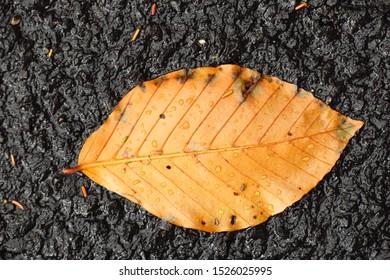 Beech tree leaf isolated on black asphalt, autumn leaf
