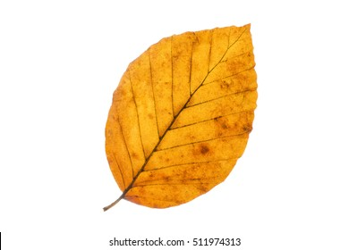 Beech tree leaf isolated on white