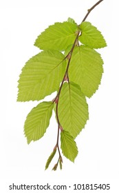 Beech tree leaves (Fagus) in spring on white background