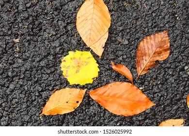Beech tree leaves and spen tree leaf isolated on black asphalt, autumn leaves