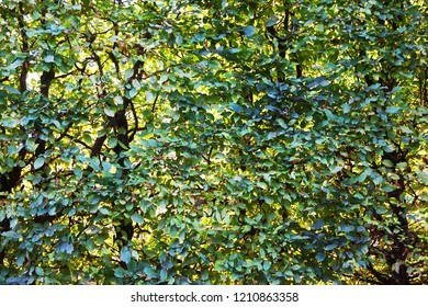 beech tree leaves texture as very nice background