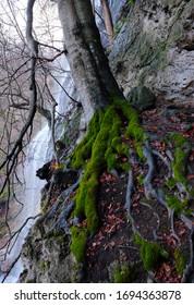 Buchen Baum mit Mooswurzel auf dem Felsen wachsen. Im Hintergrund ein wilder kleiner Wasserfall.