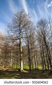 Beech tree in Selva de Irati natural park in Navarra