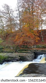 Beech trees in autumn colours beside the lower falls Aysgarth, Yorkshire Dales