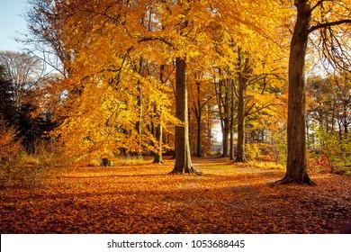 Beech trees in beautiful autum colors in Wamberg nature reserve, Berlicum, Netherlands