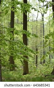 Beech trees in Dyreborg forest near Faaborg on the island of Fyn in Denmark