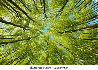 Beech Trees Forest from below, Early Spring, fresh green leaves