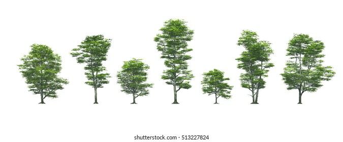 beech trees isolated white background