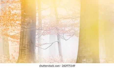 Beech trees in a misty forest