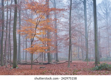 Beech trees in a misty forest