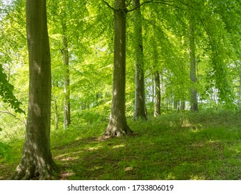 Beech trees in spring in Schleswig-Holstein,Germany