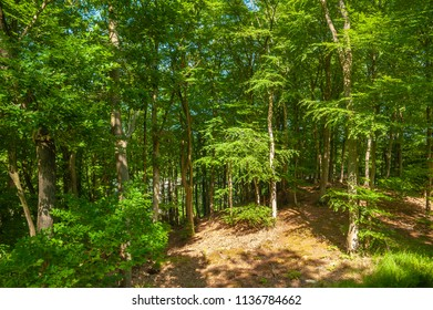 Beech wood at the tree-top walk near Prora on the island of Rügen at the Baltic Sea