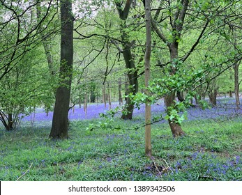 Beech woodland with bluebells - Chilterns Hills in the spring