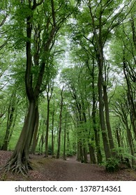 Beech woods in the spring