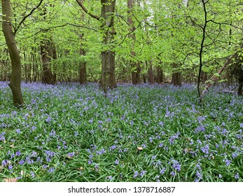 Beech woods in the spring - bluebell carpet between the trees