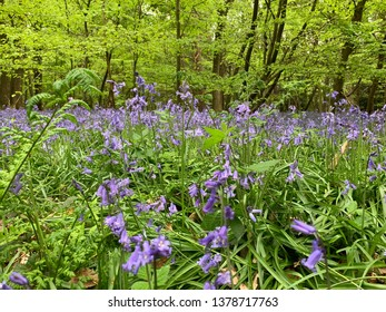 Beech woods in the spring - bluebells and trees