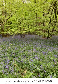 Beech woods in the spring - trees and bluebells