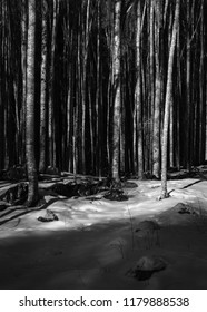 Beeches in Alpago. A look on the beech forest of Pian Grant. Alpago, Veneto, Italy.