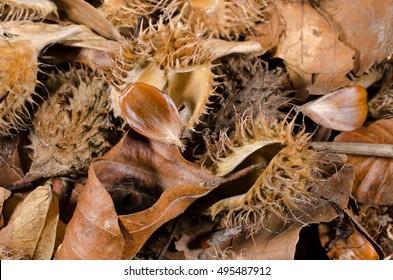beechnut forest floor