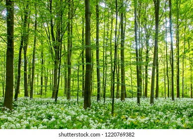 Beechwood forest on a sunny day