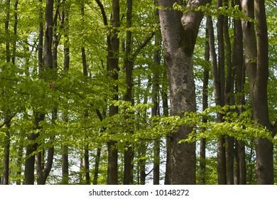 Beechwood in spring