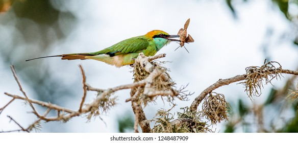 Bee-eater eating insect on branch. The Green Bee-eater. Scientific name: Merops orientalis, sometimes Little Green Bee-eater. Sri Lanka.